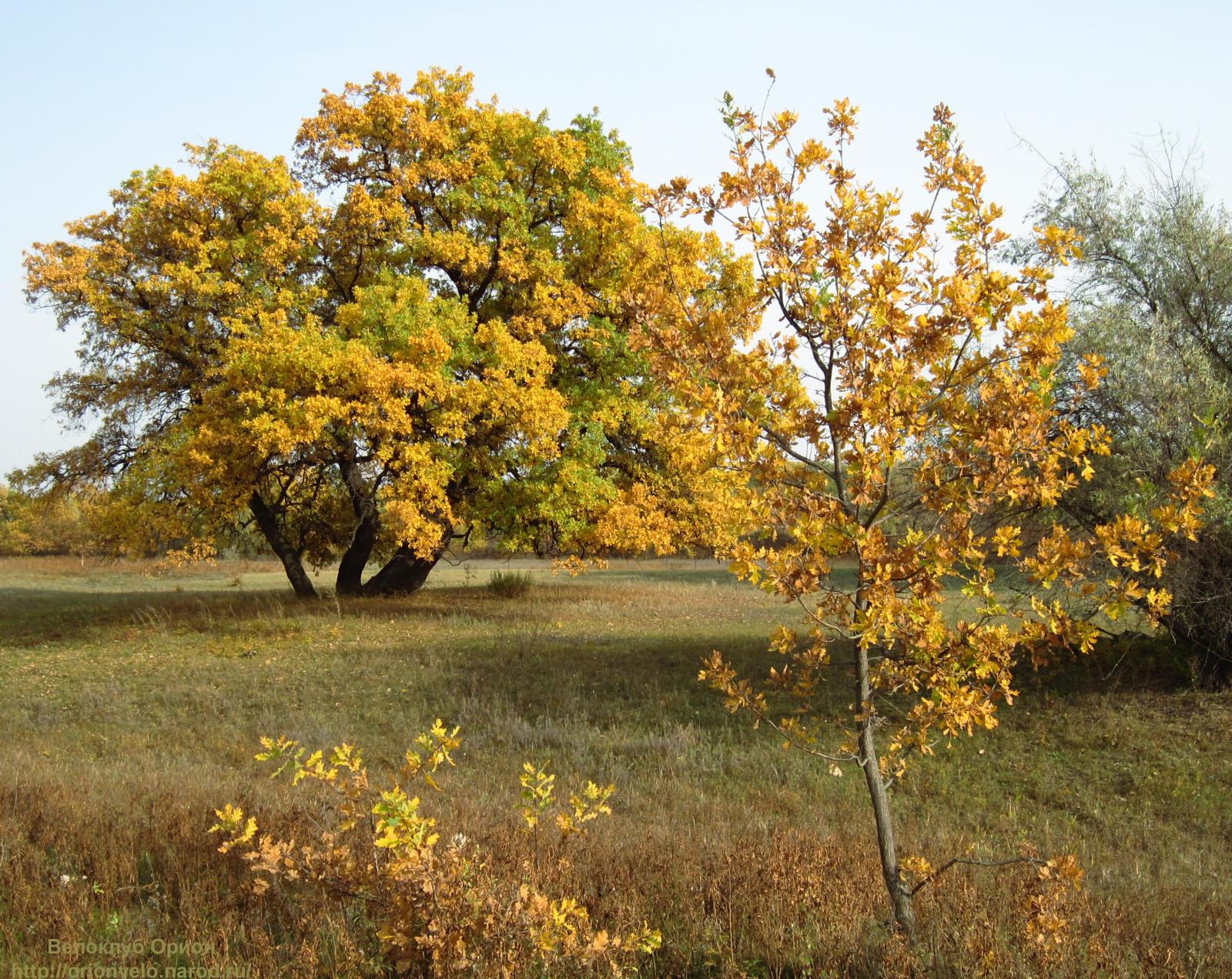 ясень осенью